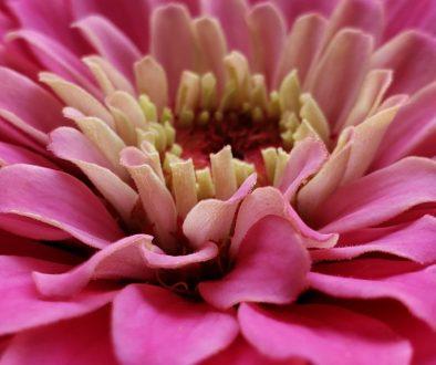 pink flower zinnia