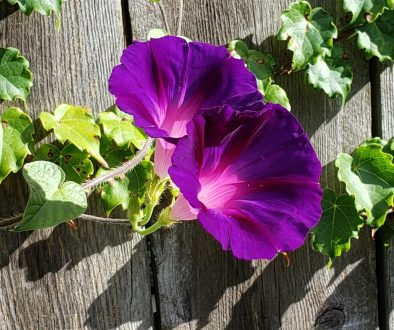 horizontal morning glories