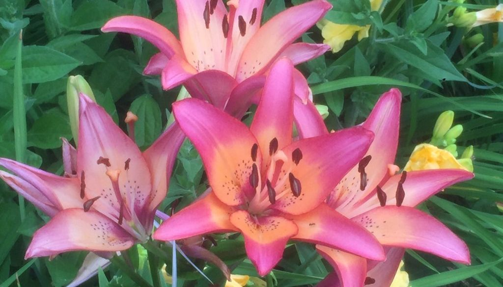 lilies for site